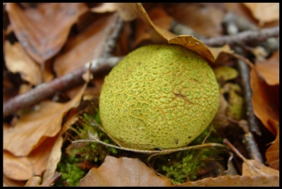Yellow Forest Mushroom