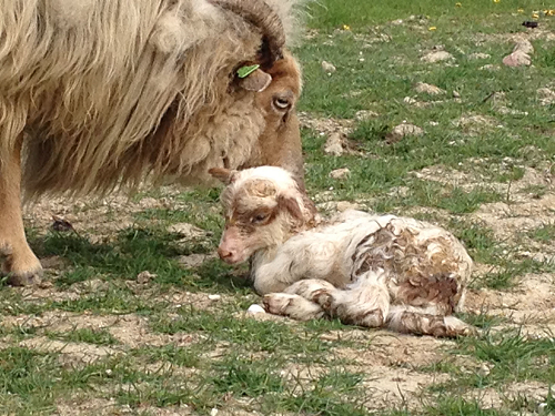 Lamb cuddled by mom