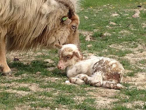 Lamb cuddled by mom