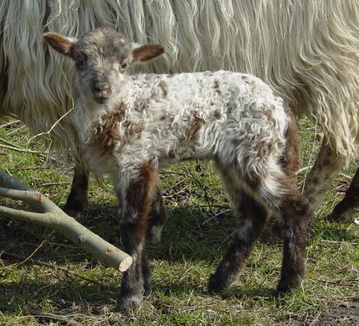Beautiful male lamb