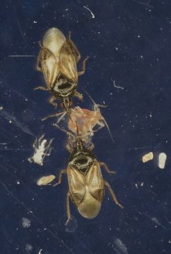 Two Orius majusculus eating an aphid.