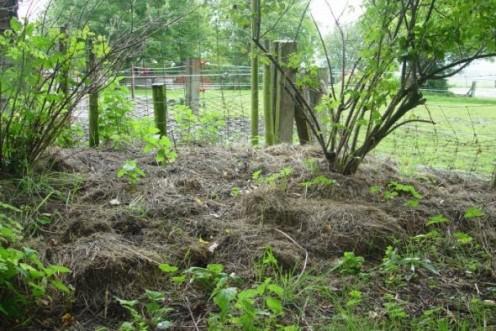 Mulching the garden with straw.