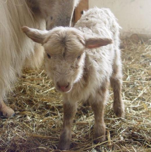newborn lamb 2013