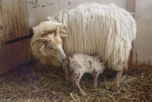 Drenthe Heath Sheep ewe with lamb