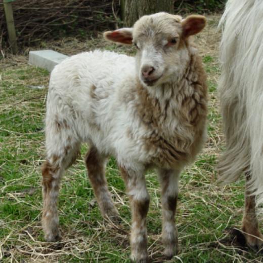 Drenthe Heath Sheep lamb three weeks old