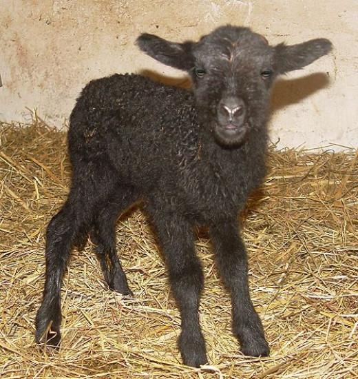 newborn black lamb