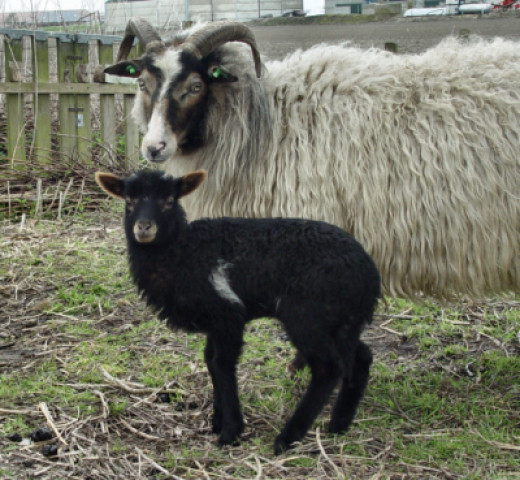 Lamb MakingAMark three weeks old