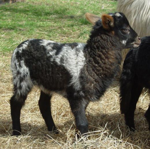 lamb Weaselpuppy three weeks old