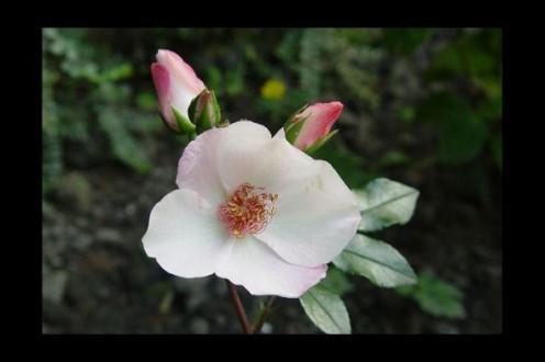 Rose Dainty Bess