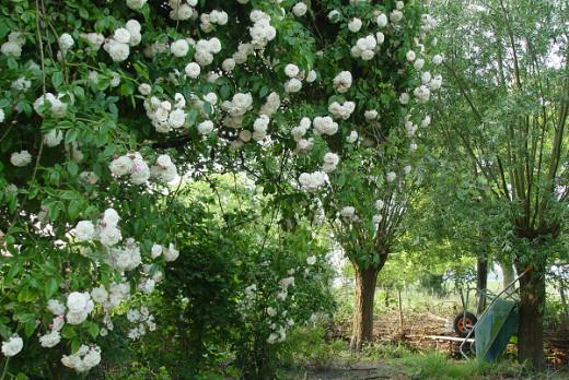 roses growing wild