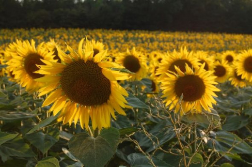 Sunflowers in France near Issel