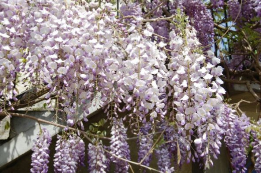 Wisteria in France Le Moulin