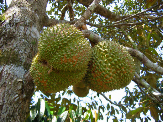 Durians grow on trees and not on vines as many people wrongly believed.