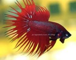 Find the beautiful betta fish that makes you happy