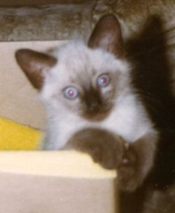 Rascal the Siamese kitten