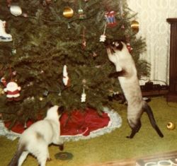 Rascal getting ornaments off the tree