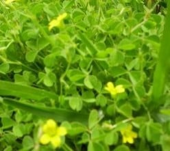 Wood Sorrel - A Nutritious Edible Weed