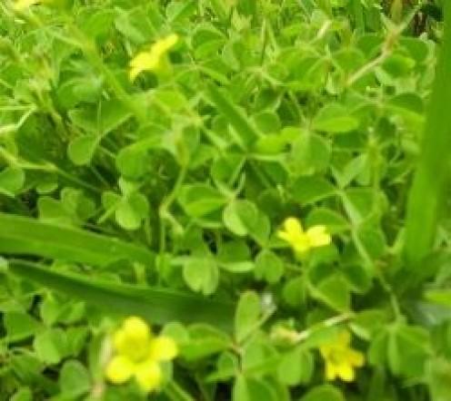 Wood Sorrel: A Nutritious Edible Weed