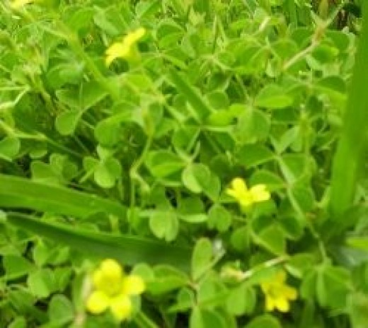 I photographed this lovely patch of flowering yellow wood sorrel in a yard in Carson.