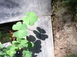 Wood sorrel photographed in a yard in Lynwood