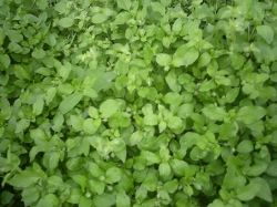 Another photo from my back yard.  You will usually see chickweed growing in dense patches like this one.  Strength in numbers.