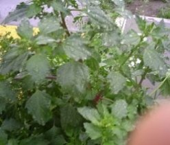 Nettle-leaf goosefoot - A nutritious edible weed