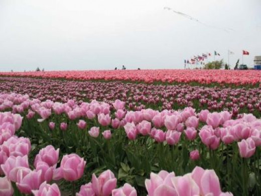 Photo of the Tulip Fields at Tulip Town
