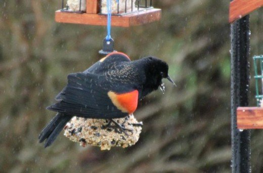 Red-Winged Blackbird Eating and Squawking