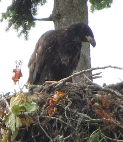 Baby American Bald Eagle in Nest