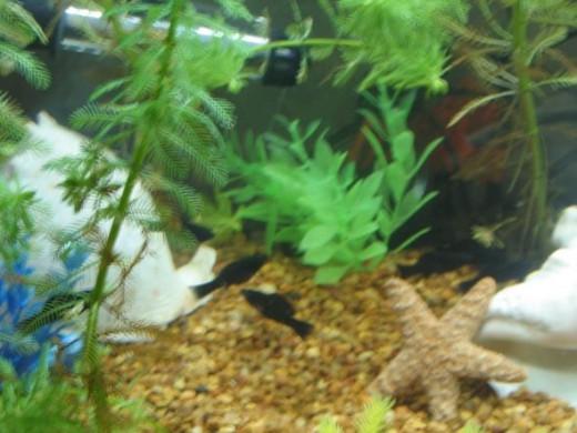 Several Black Mollies