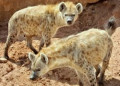 Why The Hyena IS Africa's Top Predator