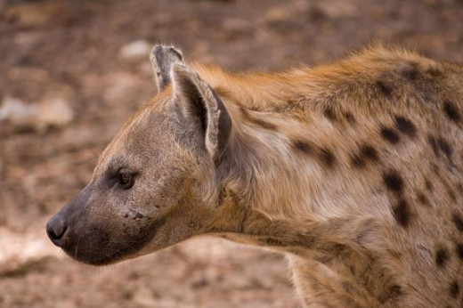 The African Hyena jpg2