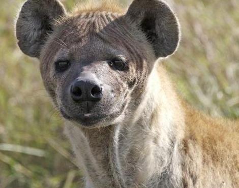 hyenas, jpg 7