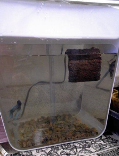 Introducing a Betta Log to Charlie by Kirsti A. Dyer