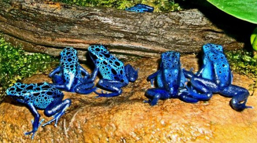 This Picture Of Many Poison Blue Dart Frogs is used under the GNU Free Documentation License, which can be found by clicking on the picture.