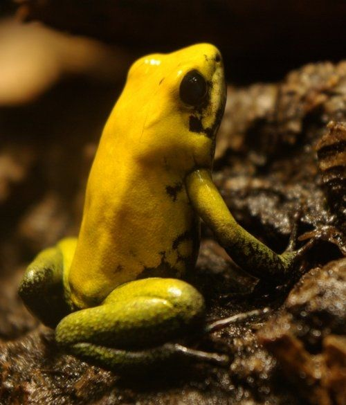 The Black-legged Dart Frog Image is from Wiki and is used under  the Creative Commons Attribution-Share Alike 3.0 Unported license.