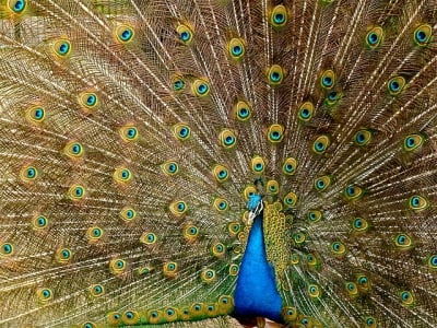 A Peacock (Peafowl) Flaring His Feathers