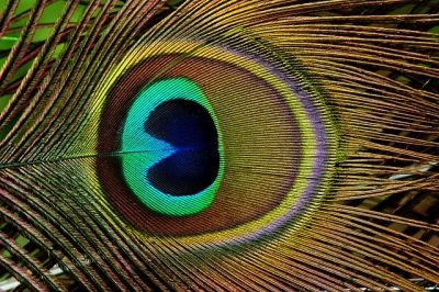 Close Up Picture Of A Peacock Feather