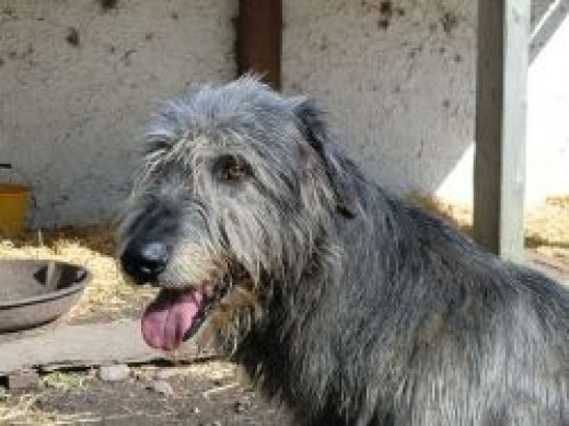 This picture of a large Irish Wolfhound was taken at the Kerry Bog Museum and is used under the Creative Commons Attribution-Share Alike 3.0 Unported license.