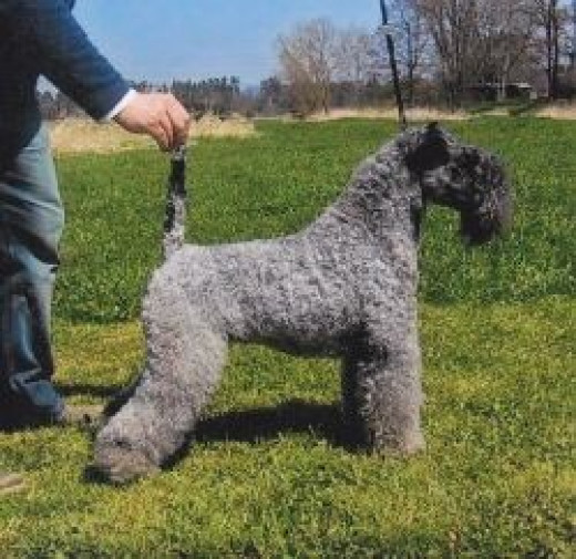 Born black, the Kerry Terrier's fur turns blue by the time they are about two years old.  I love dog facts!  This picture is from Wikipedia and is used under the Creative Commons Attribution-Share Alike 3.0 Unported license.