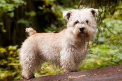 Here's a picture of the loyal and brave Glen of Imaal Terrier.  This picture is from Wikipedia and this file is made available under the Creative Commons CC0 1.0 Universal Public Domain Dedication.