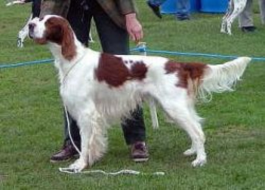This Is A Picture Of The Irish Red And White Setter.  The picture is from Wikipedia and this file is licensed under the Creative Commons Attribution-Share Alike 3.0 Unported license.