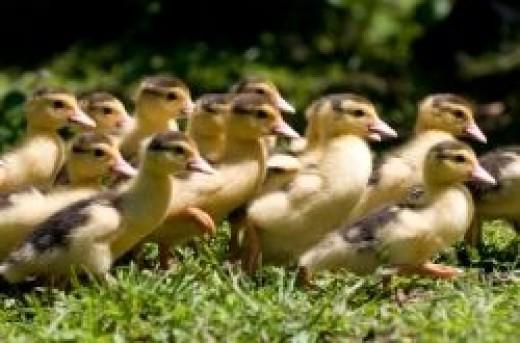 Ducks In The Wedding Pictures - Depositphotos