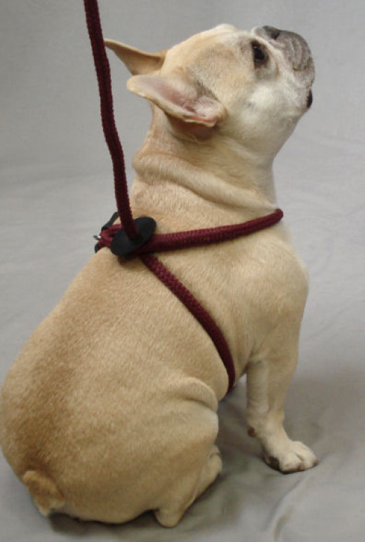 Teddy (French Bulldog) shows the back