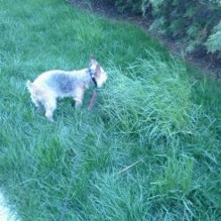 My dog, LolaBelle, exploring in the grass, which causes her allergic symptoms.