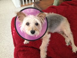 "LolaBelle wearing her ""cone of shame."""