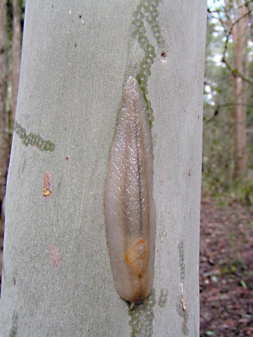 Another red triangle slug; the marks on the Sydney blue gum tree were made by the slug's radula as it fed on the tree
