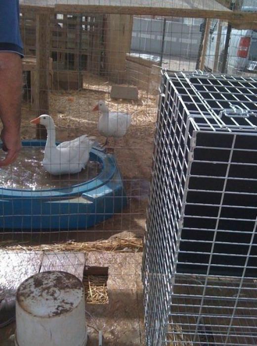 Raising spring chicks