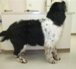 Newfoundland Dog Diet Plan