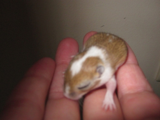 Snickerdoodle- As a pup, still with eyes closed.  This is a girl gerbil